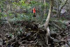 Gnarled tree roots exposed on the bank of a small stream that can become a raging torrent after heavy rains.