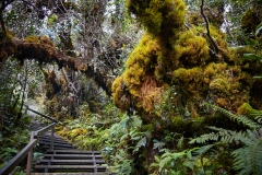 Mosses and liverworts blanket the trees as the trail continues upwards. The wooden steps protect the topsoil from wear and tear.