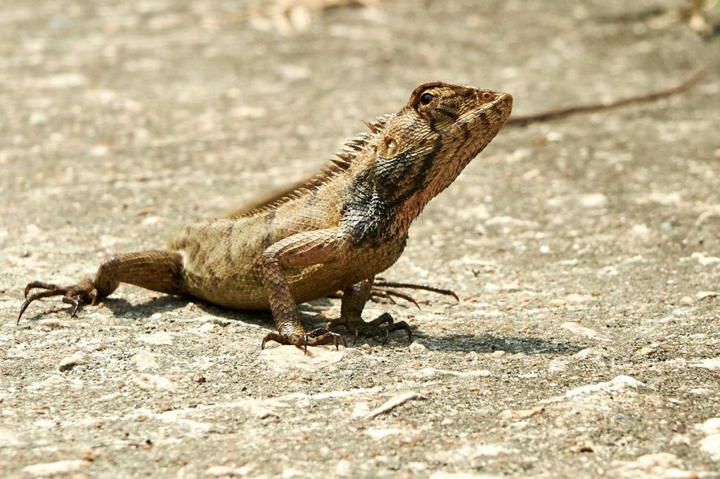 Hiking in Hong Kong: Oriental garden Lizard