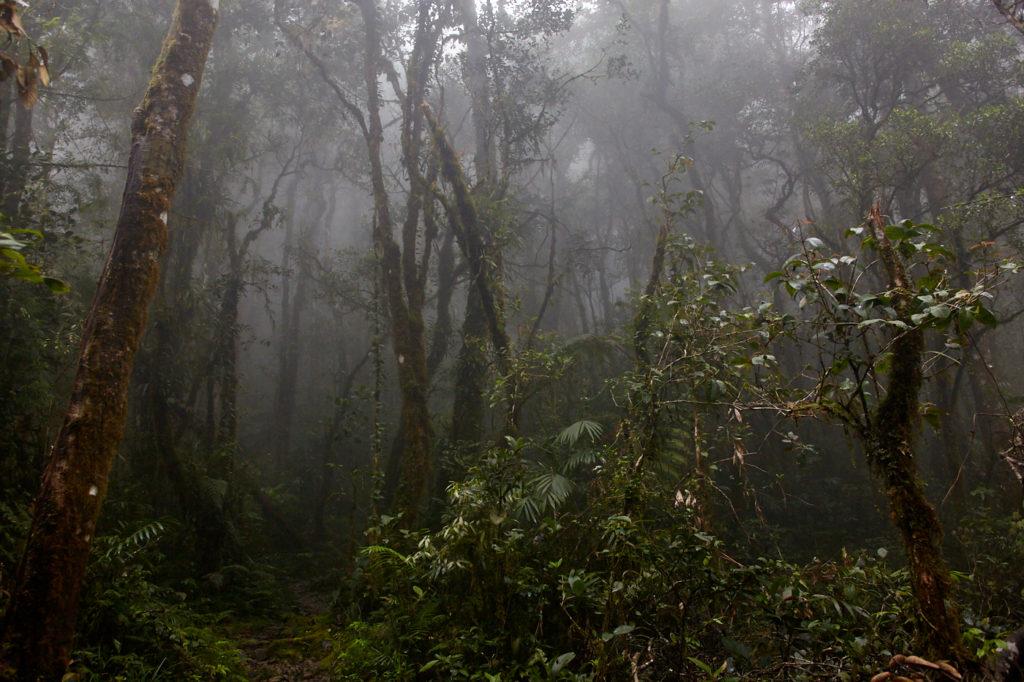 Mt Kinabalu, Mesilau trail cloud forest