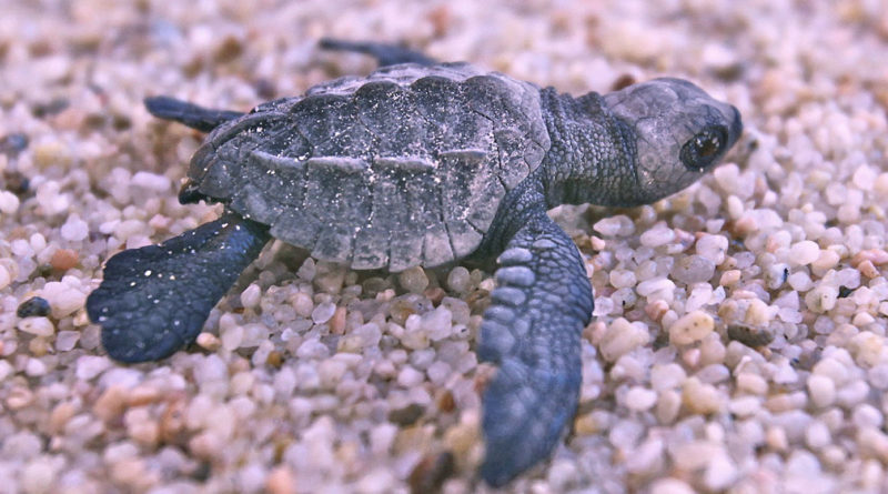 Olive ridley lays eggs in Boracay