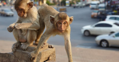 Simian City: The Monkeys of Lopburi