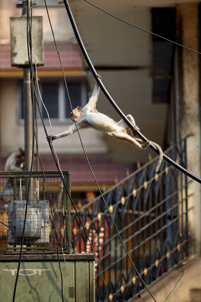 Simian City The monkeys of Lopburi