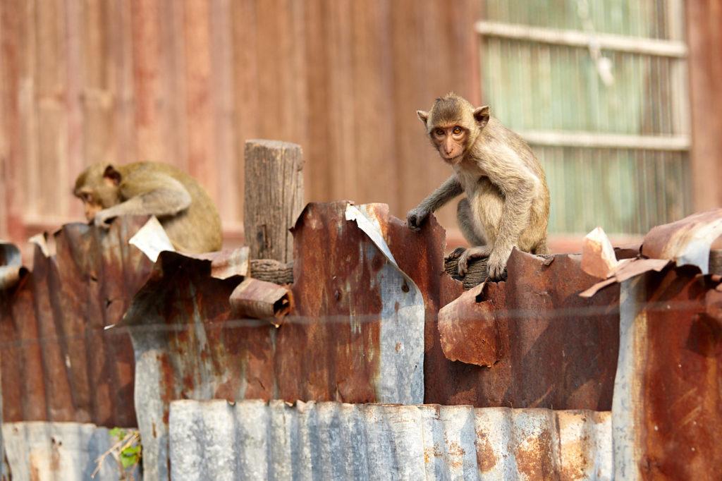 Urban monkeys